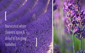lavender flowers lavender flower and how to make lavender water