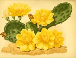 native plants journal 135 best cactus illustrations u0026 images images on pinterest