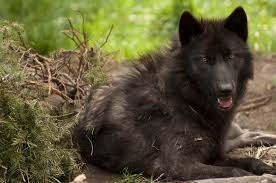 belgian sheepdog oregon visitors can watch as the oregon zoo u0027s wolves are treated to a