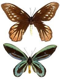 alexandra s birdwing