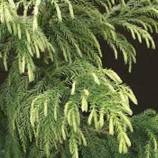 cryptomeria japonica sekkan sugi japanese cedar trees for sale
