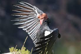 the recovery of the california condor celebrate urban birds