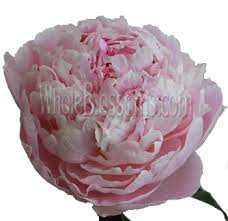 wholesale peonies order wholesale peony flowers on sale