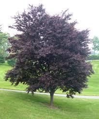 krauter vesuvius purple leaf plum
