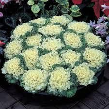 ornamental kale nagoya white f1 harris seeds