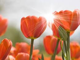 flower sunny tulips flowers orange good morning spring beautiful