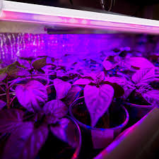 horticultural led grow lights led grow lights now growing rapidly in the horticultural sector