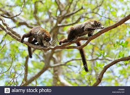Tropical Dry Forest Animals And Plants - wildlife animal coatis stock photos u0026 wildlife animal coatis stock