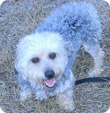 bichon frise dogs for adoption rosco adopted dog cameron mo yorkie yorkshire terrier