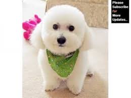 bichon frise breed standard bichon frise dog breed dog breed bichon frise lovely pics