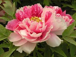 14 best granny called them piney roses peonies images on pinterest