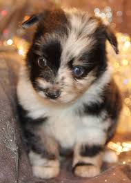 australian shepherd breeders near me toy mini australian shepherd pups for sale co tug yurhart