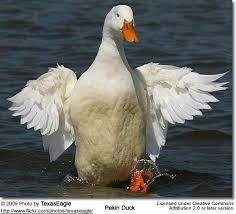 pekin ducks aka domestic ducks white pekin ducks beauty birds