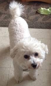 bichon frise years harvey the bichon frise doggies pinterest bichon frise dog