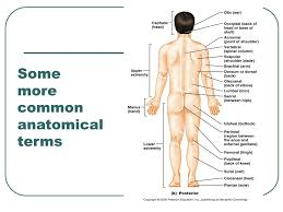 Loin Human Anatomy Anatomical Language And Terminology Ppt Video Online Download