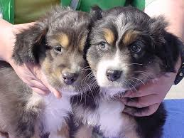 australian shepherd eye color genetics dilute aussies