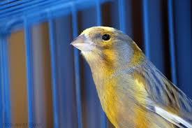 uccelli in gabbia view topic il chiosco della poesia ad un uccello in gabbia