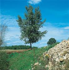 cottonless cottonwood tree small 2 to 4 foot jung garden and