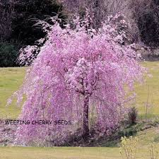 20 seeds japanese ornamental weeping cherry tree starting at