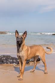 belgian malinois quotes belgian malinois dog in the beach by irantzu arbaizagoitia on