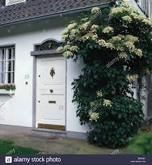 tall climbing hydrangea on traditional white house with white