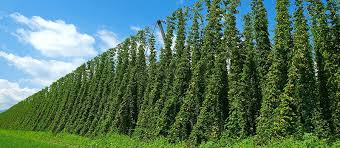 Low Trellis Hops Gorst Valley Developing Database On State Beer Hops Gorst Valley