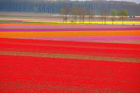 2106x1400px tulip fields hd widescreen 8 1467870509