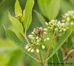 pennsylvania native plants what good is dogbane the natural web