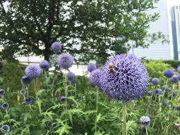 urban refuge how cities can help rebuild declining bee