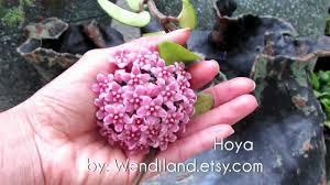 hoya in my garden youtube