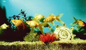 rural initiative kerala homes to in on ornamental fish