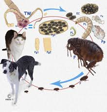 tapeworm flea life cycle in your pet
