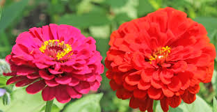 zinnias flowers fresh cut zinnia flowers from your potager palm
