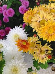 Picture Of Mums The Flowers - wshg net garden chrysanthemums u2014 colorful hardy flowers