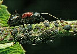 ants family formicidae