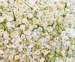 baby s breath creeping gypsophile a profile of a rock garden flower howstuffworks