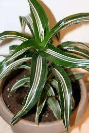plantfiles pictures dracaena dragon tree corn plant chinese