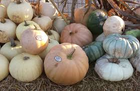 white pumpkins file white pumpkins and squashes jpg wikimedia commons