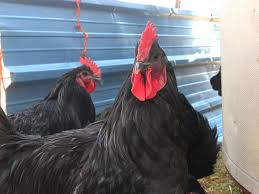 Backyard Chickens 101 by The Definite Guide To Roosters Backyard Chickens