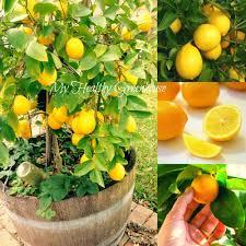seeds u2013 self pollinating dwarf meyer lemon u201ccitrus meyeri u201d indoor