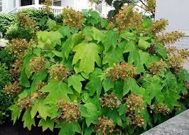 tree or shrub archives page oakleaf hydrangea diy
