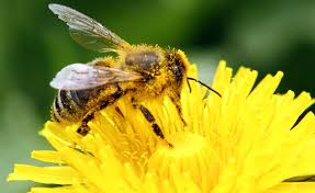 are pesticides to blame for the massive bee die off pbs newshour