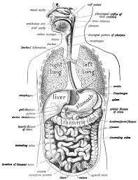 the digestive system of human being coloring page for digestive
