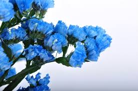 statice flowers tinted light blue sinuata statice limonium flowers by