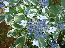 discover some variegated landscaping shrubs