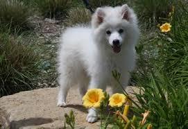american eskimo dog intelligence intelligent alert and friendly the american eskimo dog is also
