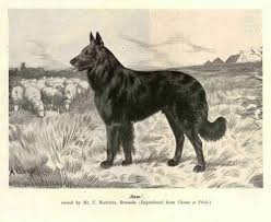belgian sheepdog height belgian shepherds laekenois malinois belgian sheepdog and