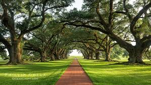 oak alley plantation and its tunnel of oak trees