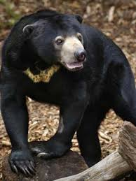 Are Bears Color Blind Malayan Sun Bears Bears Of The World