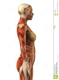 Google Body Anatomy Female Back Muscle Anatomy Torso Anatomy Female Anatomy Women